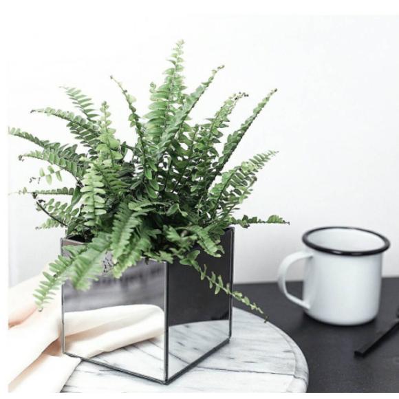 Achat en ligne Fougère en pot en terre cuite 11cm vert